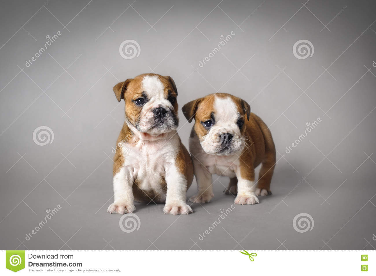 Bulldog Puppies Stock Photo Image Of Young Relationship 81457062