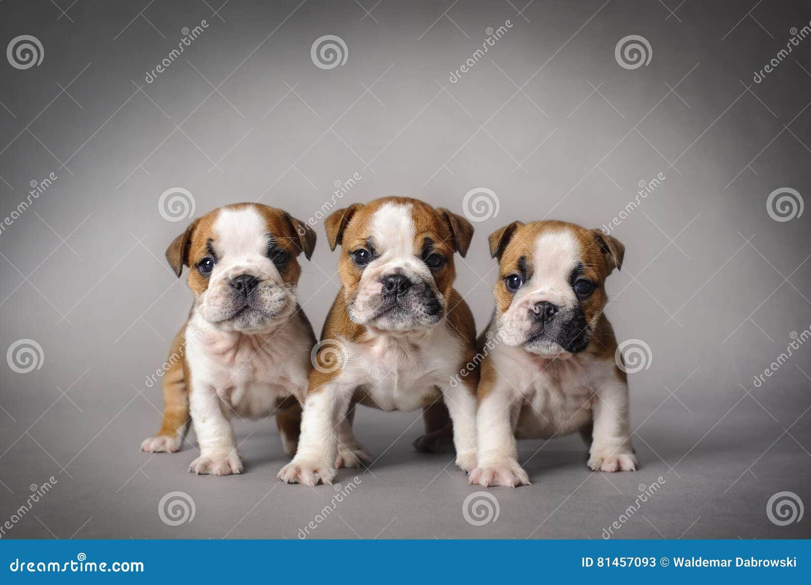 Bulldog Puppies Stock Image Image Of Household Relationship 81457093