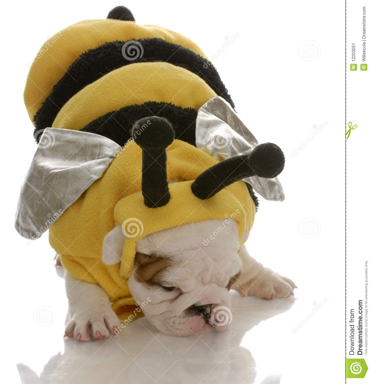 Bulldog puppy dressed as a bee