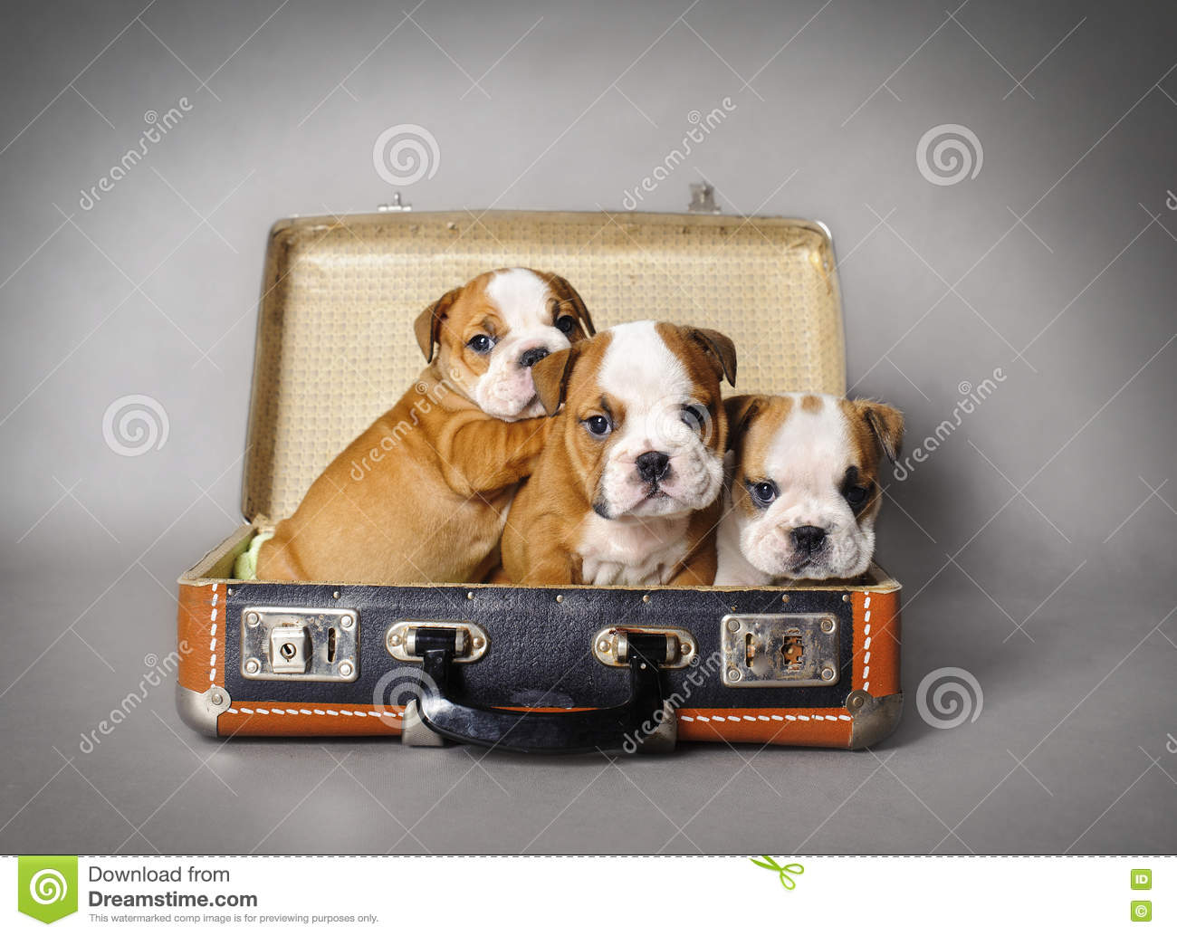 Bulldog Puppy Stock Image Image Of Young Adorable Bull 81465531