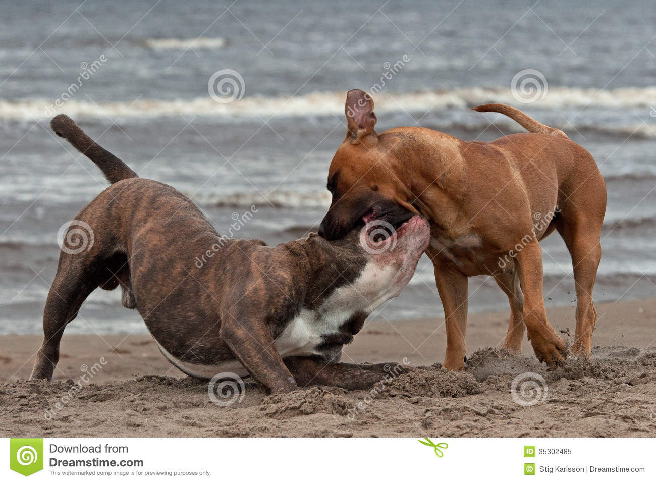 Bulldog And American Staffordshire Terrier Met 1 Royalty