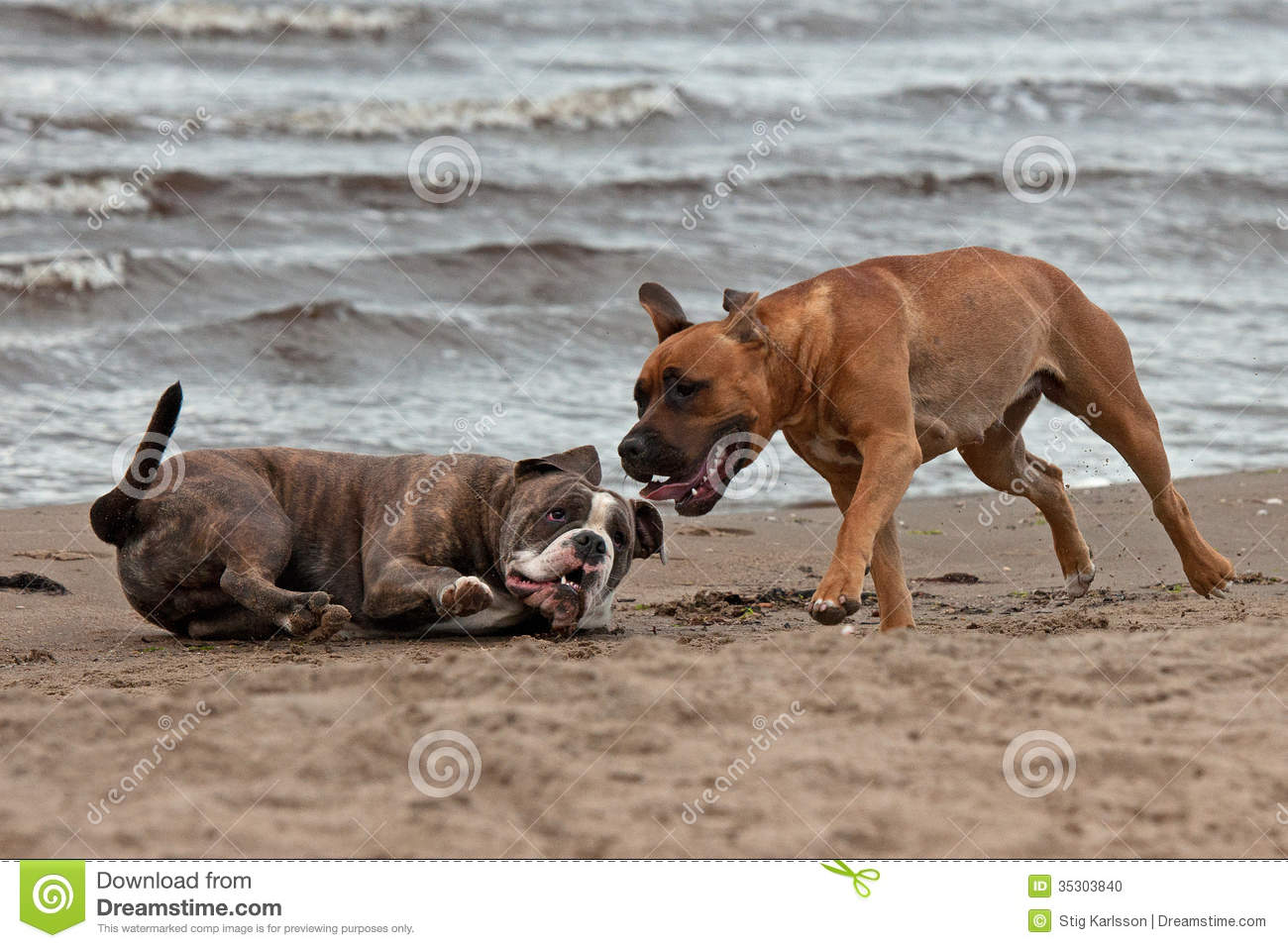 Bulldog and American staffordshire terrier met 3