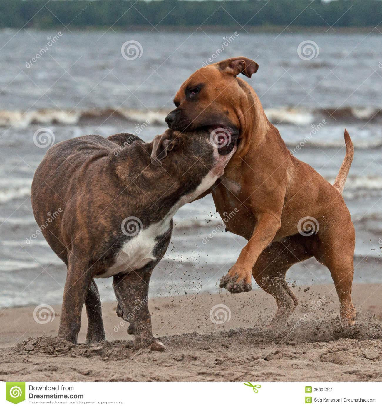 Bulldog And American Staffordshire Terrier Met 4 Stock ...