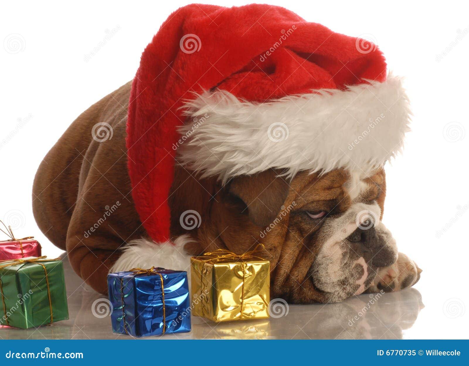 Bulldogge Scrooge Am Weihnachten Stockbild - Bild von geschenk, nett ...