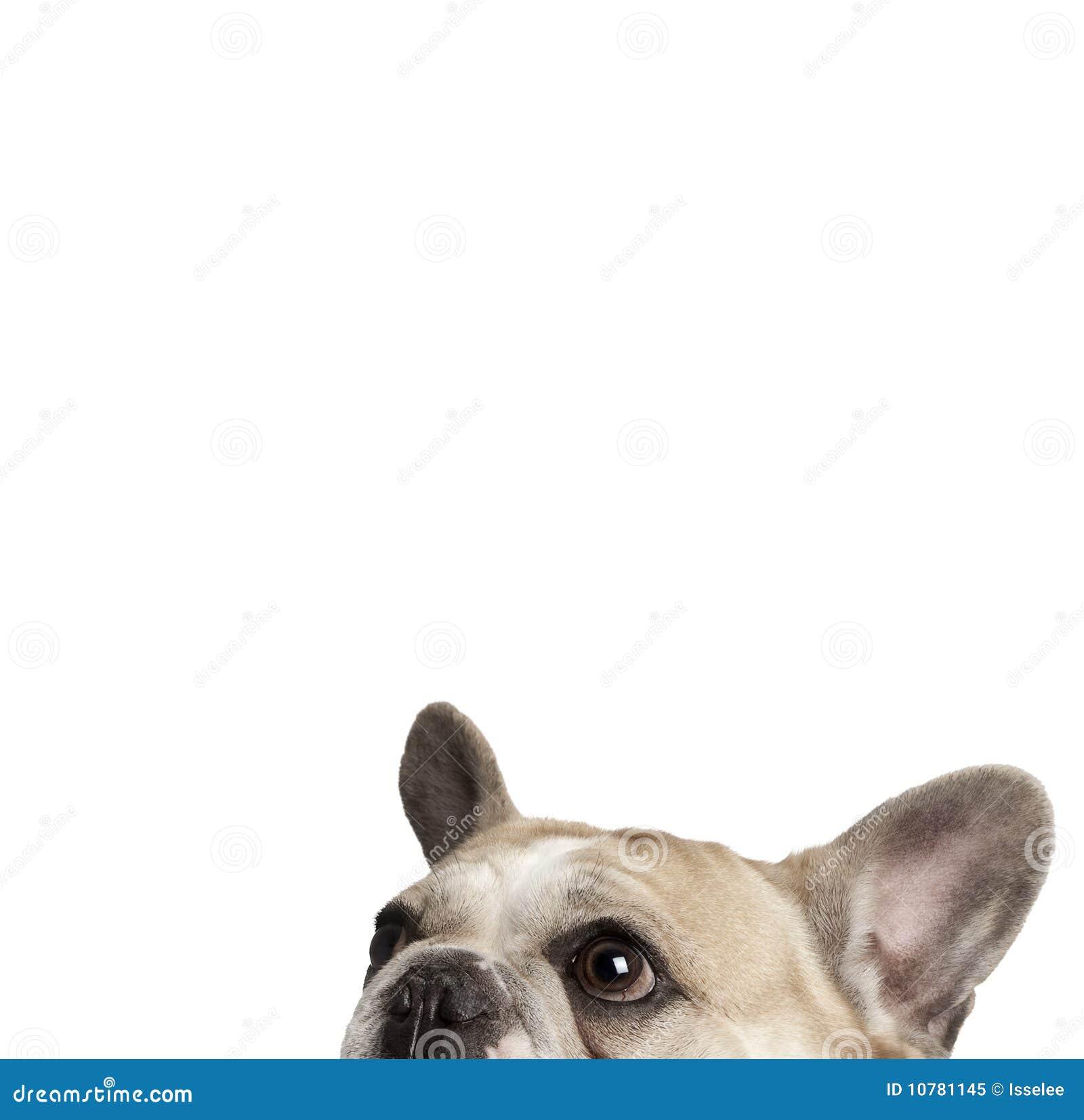 Bulldoggen kantjusterade fransmannen skjuten studiosikt