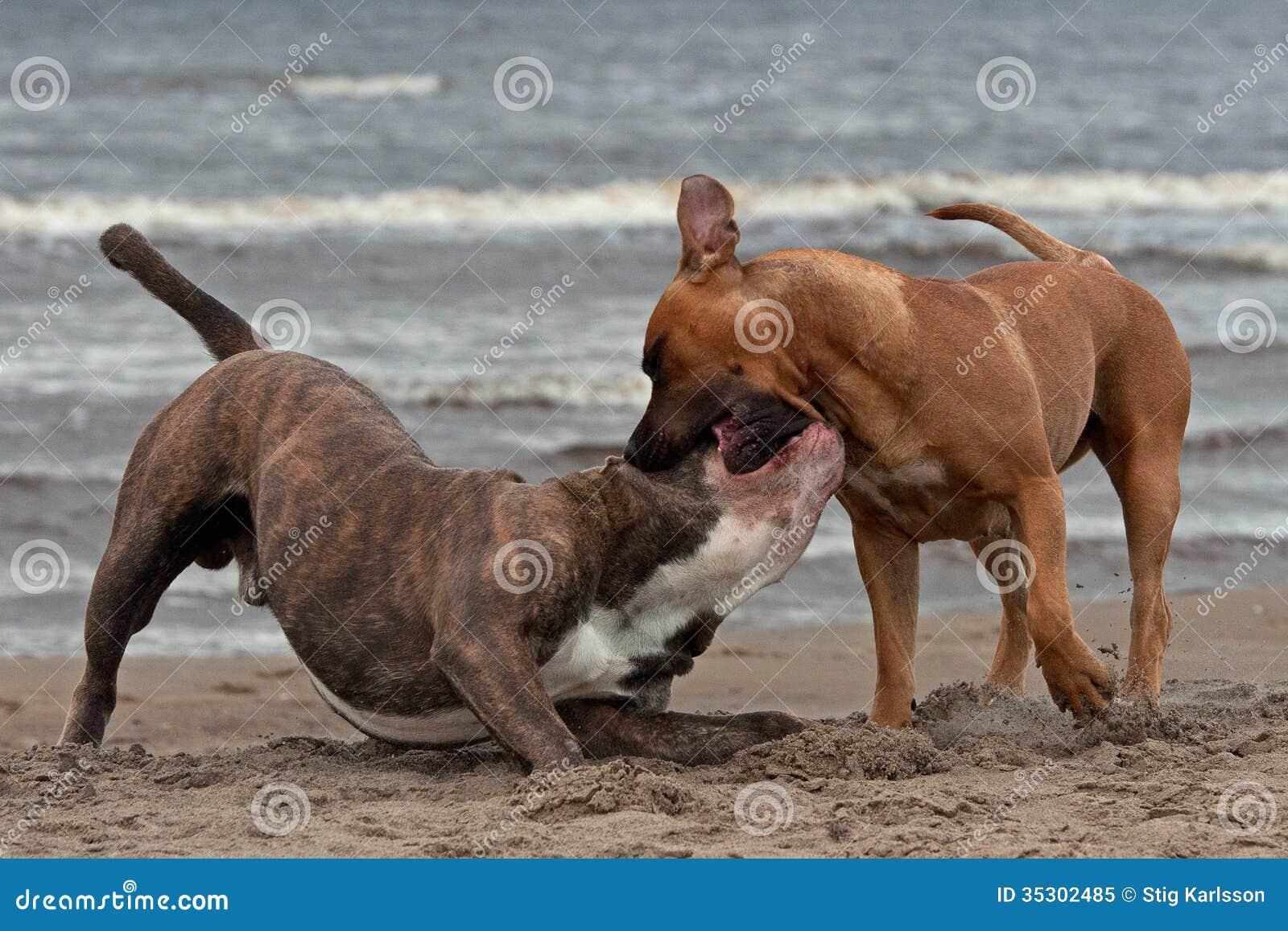 Bulldoggen och terriern mötte 1