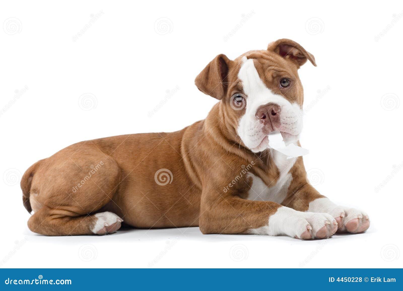 Bulldoggrenässans