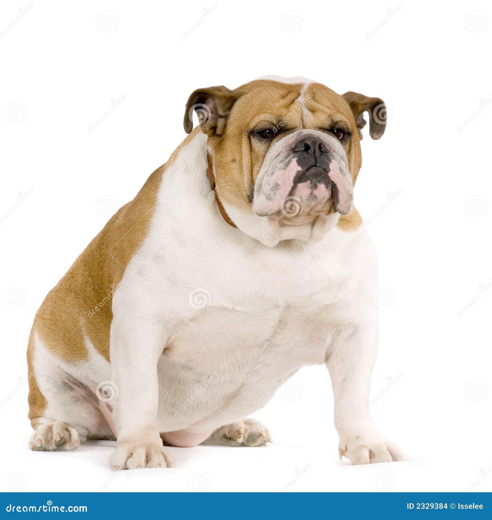 Bulldogs anglików