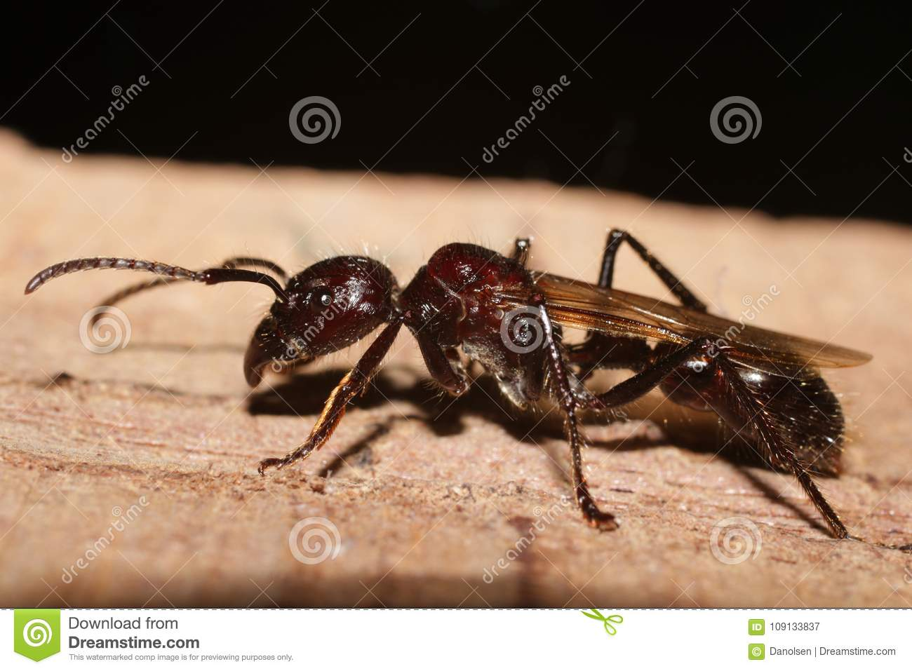 Bullet Ant, real killer insect with extremely potent sting