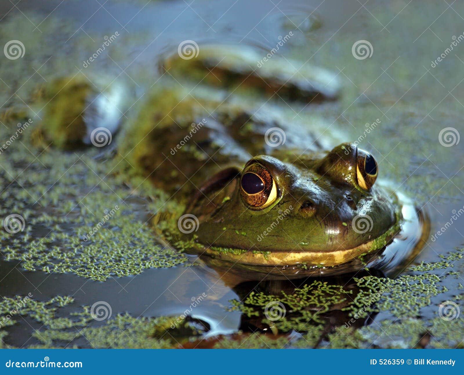 Bullfrog έλος
