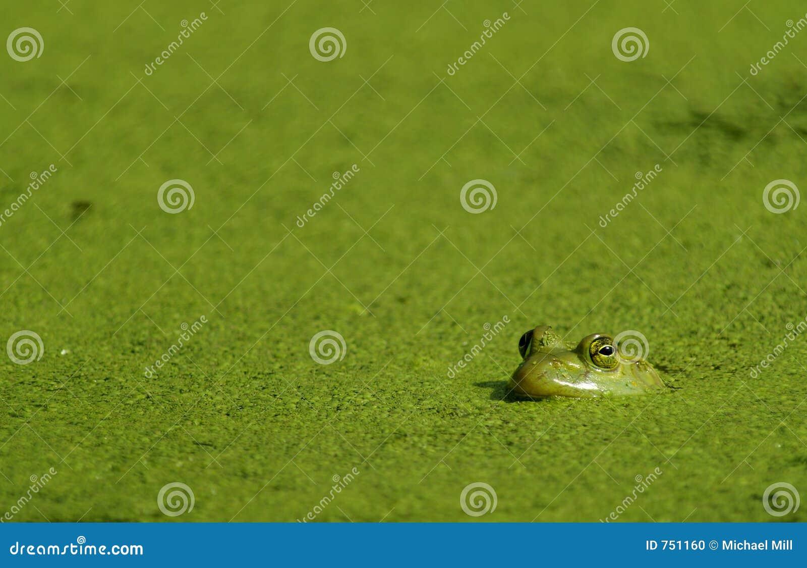 Bullfrog αλγών