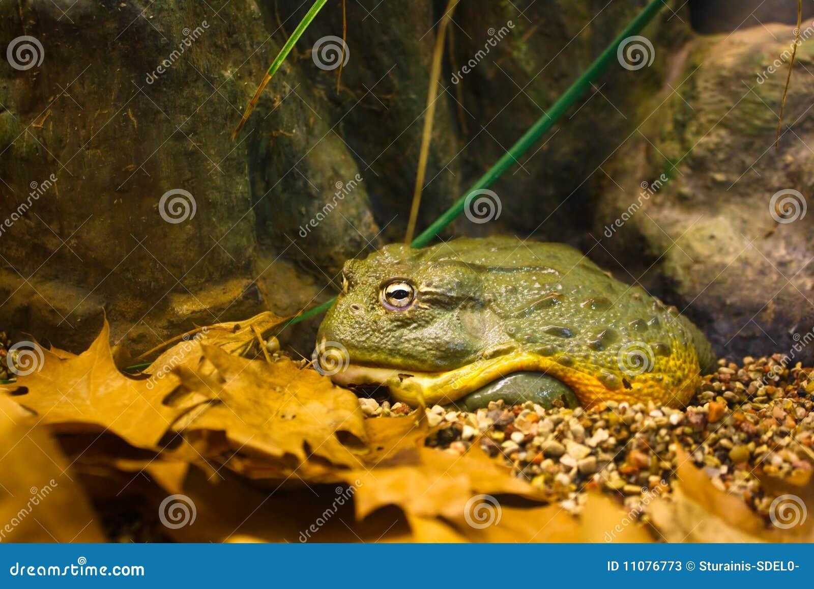 Bullfrog gigant