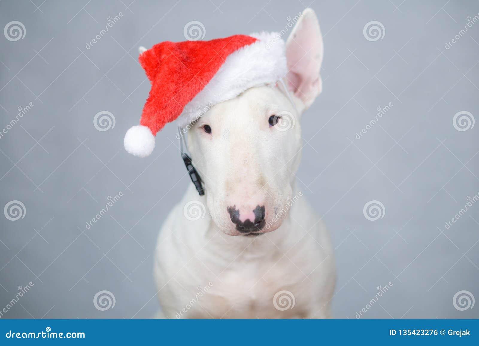 Bullterrierhund mit Sankt-Hut auf Weihnachten