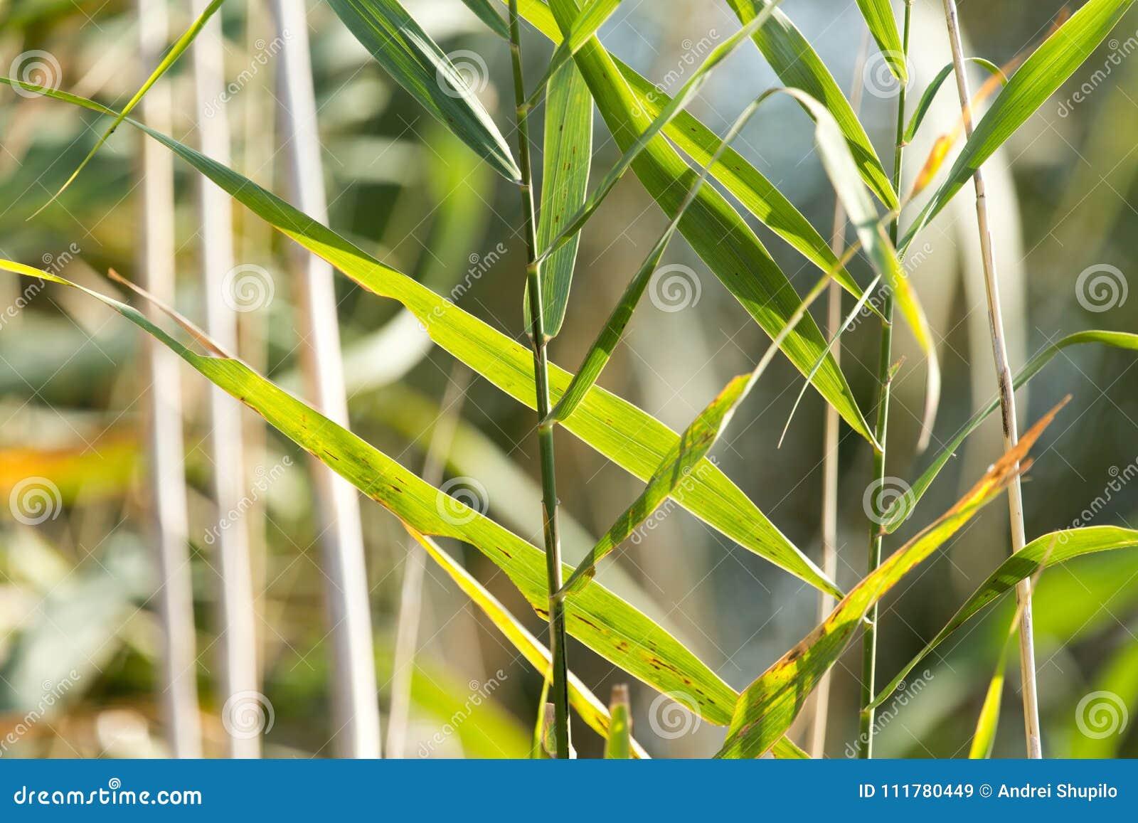 Bulrush outdoors в осени