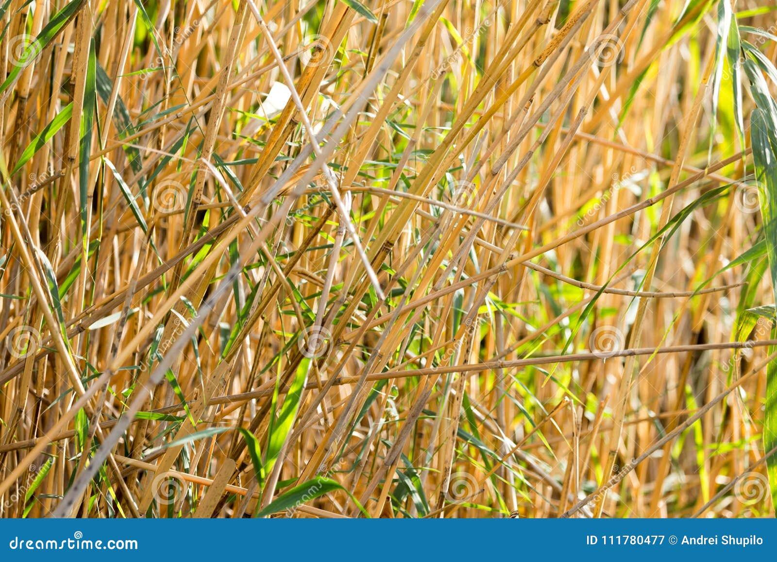 Bulrush outdoors in autumn