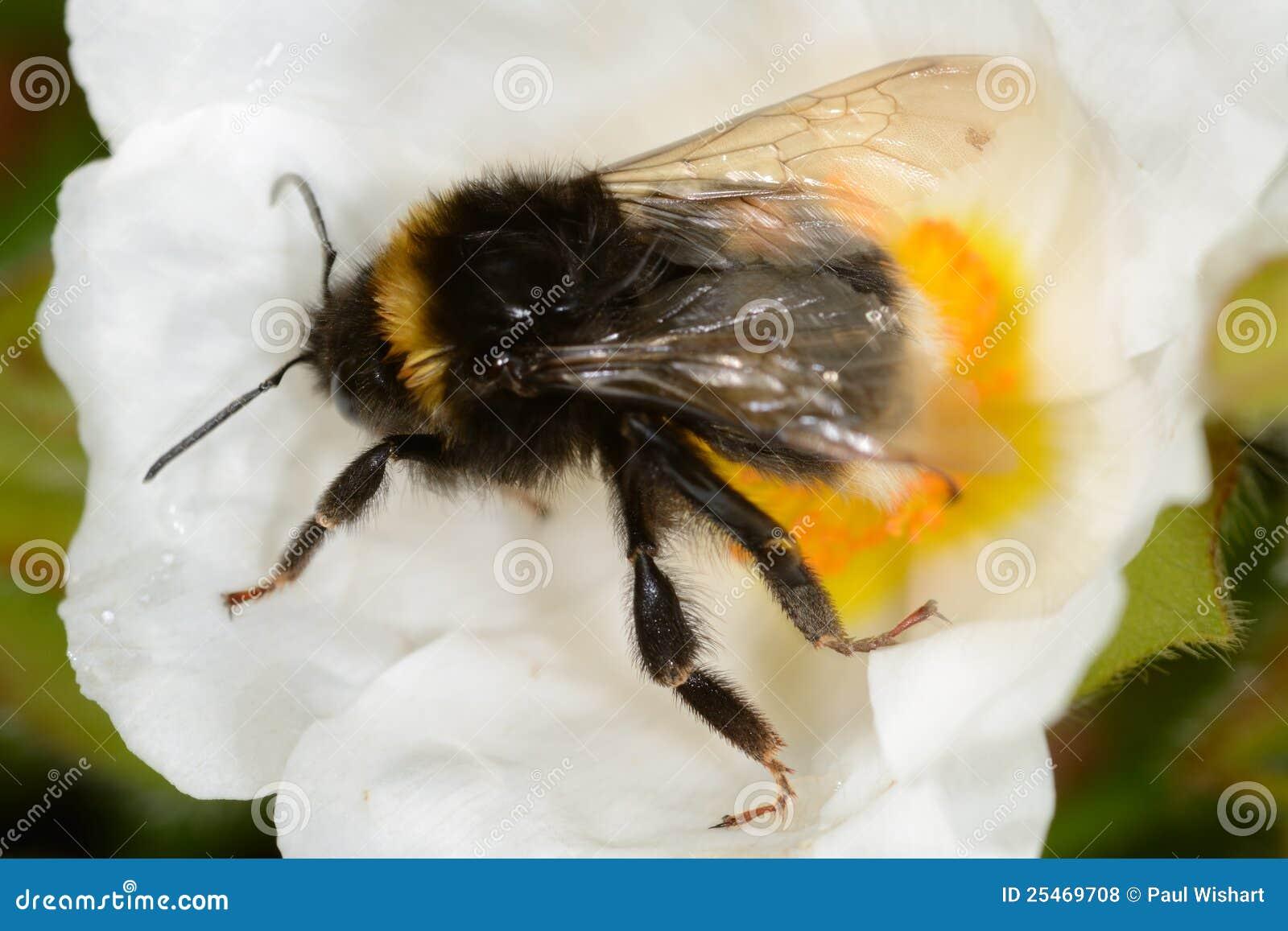 Bumble a abelha na flor branca