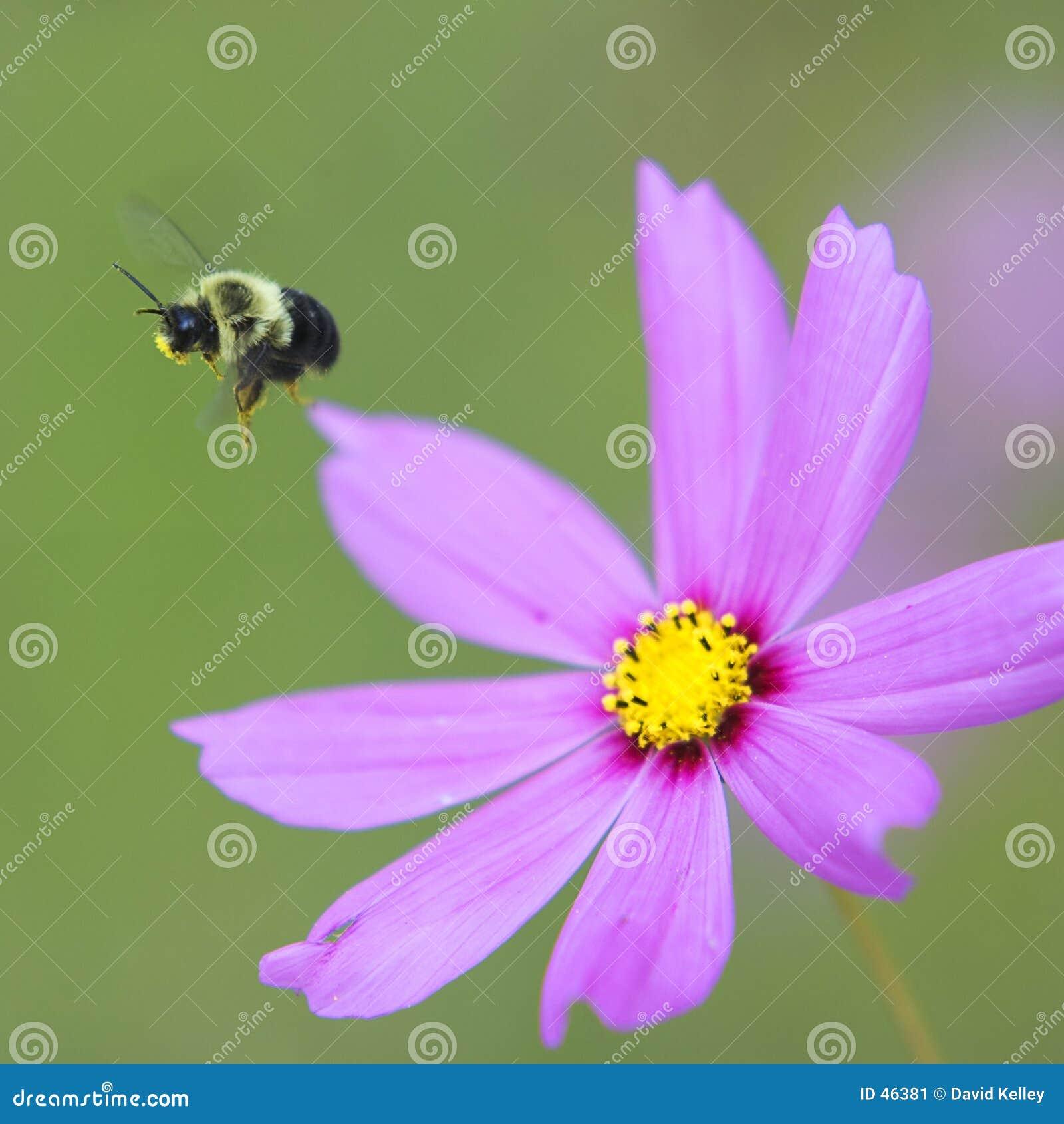 Bumble a abelha no vôo