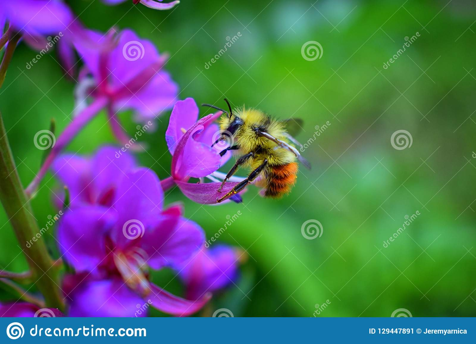 Bumble bee Bombus huntii, Hymenoptera, Apidae, Bombinae collecting pollen and nectar from wild flowers along hiking trails to Do