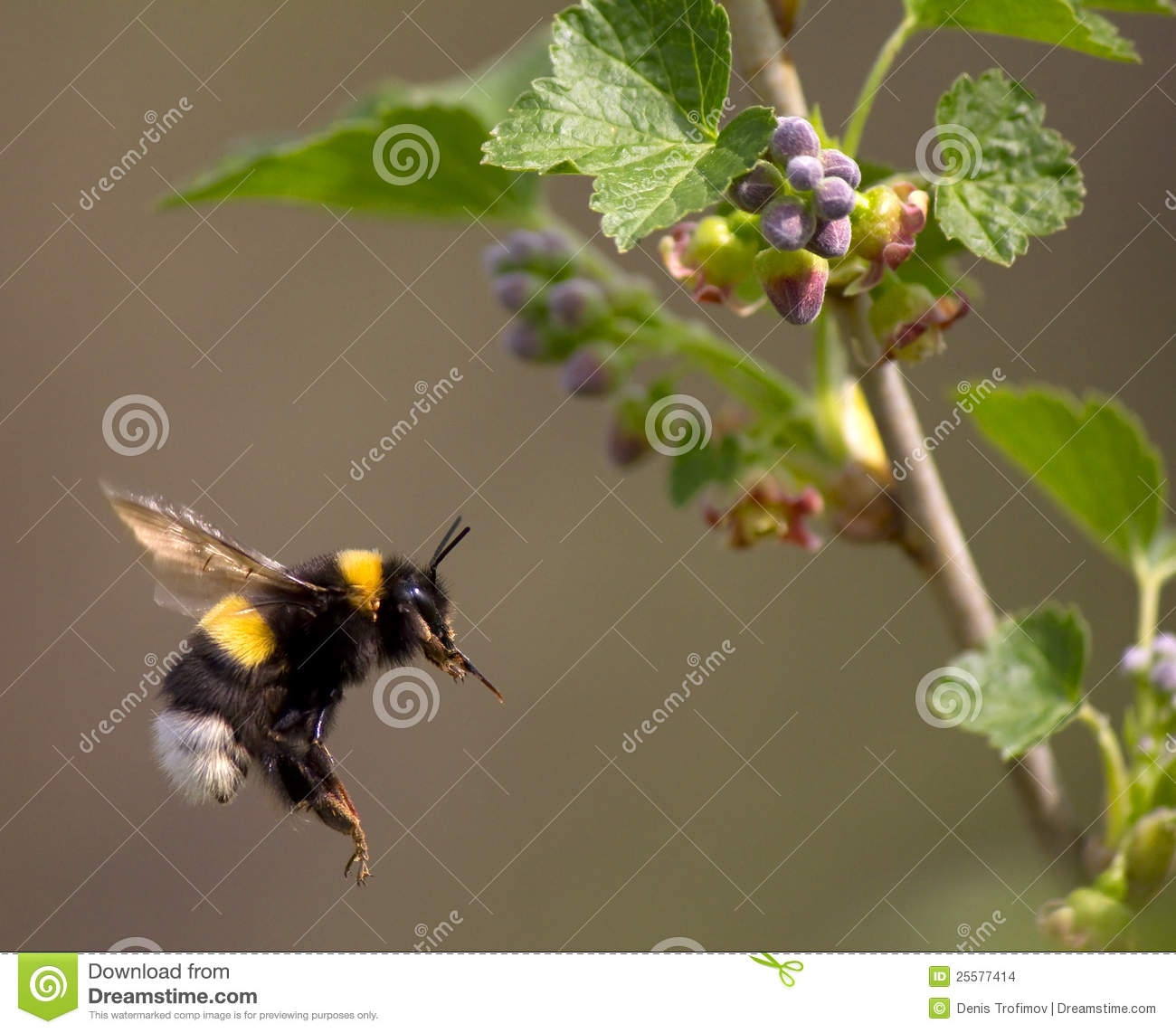 Bumble bee flying to flower