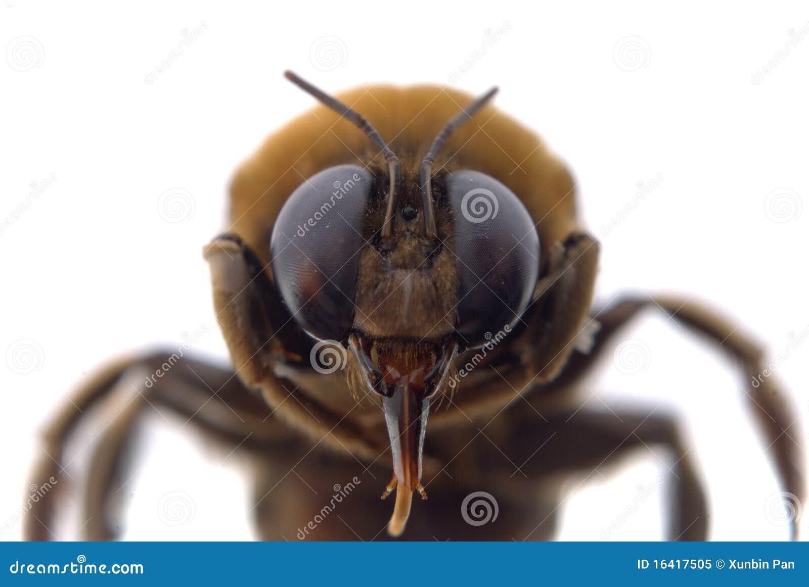 Bumble bee head macro stock image. Image of danger, black ...