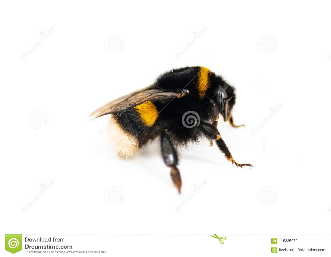 Bumble-bee isolated on white