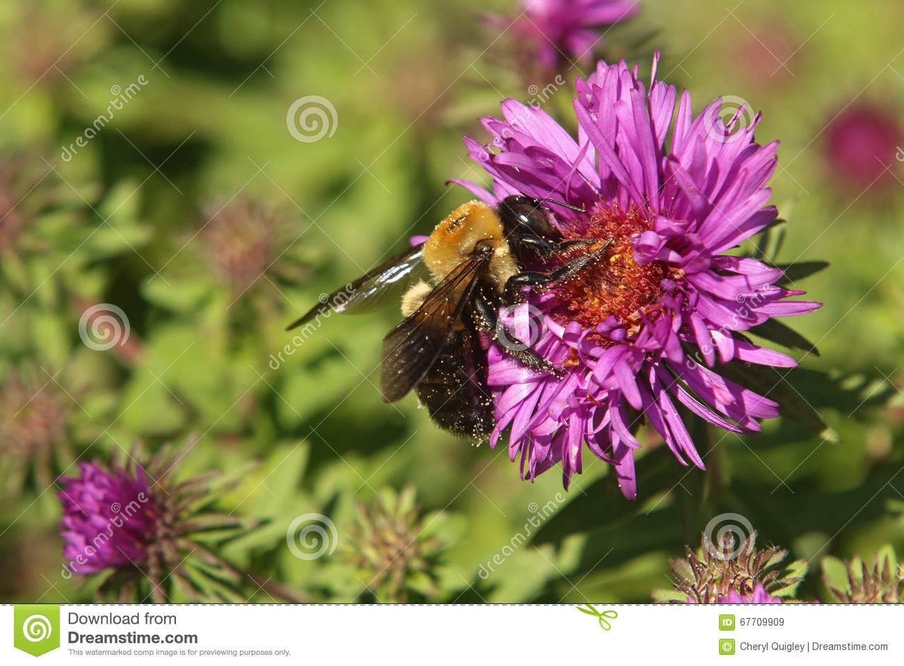 Bumble Bee on New England Aster