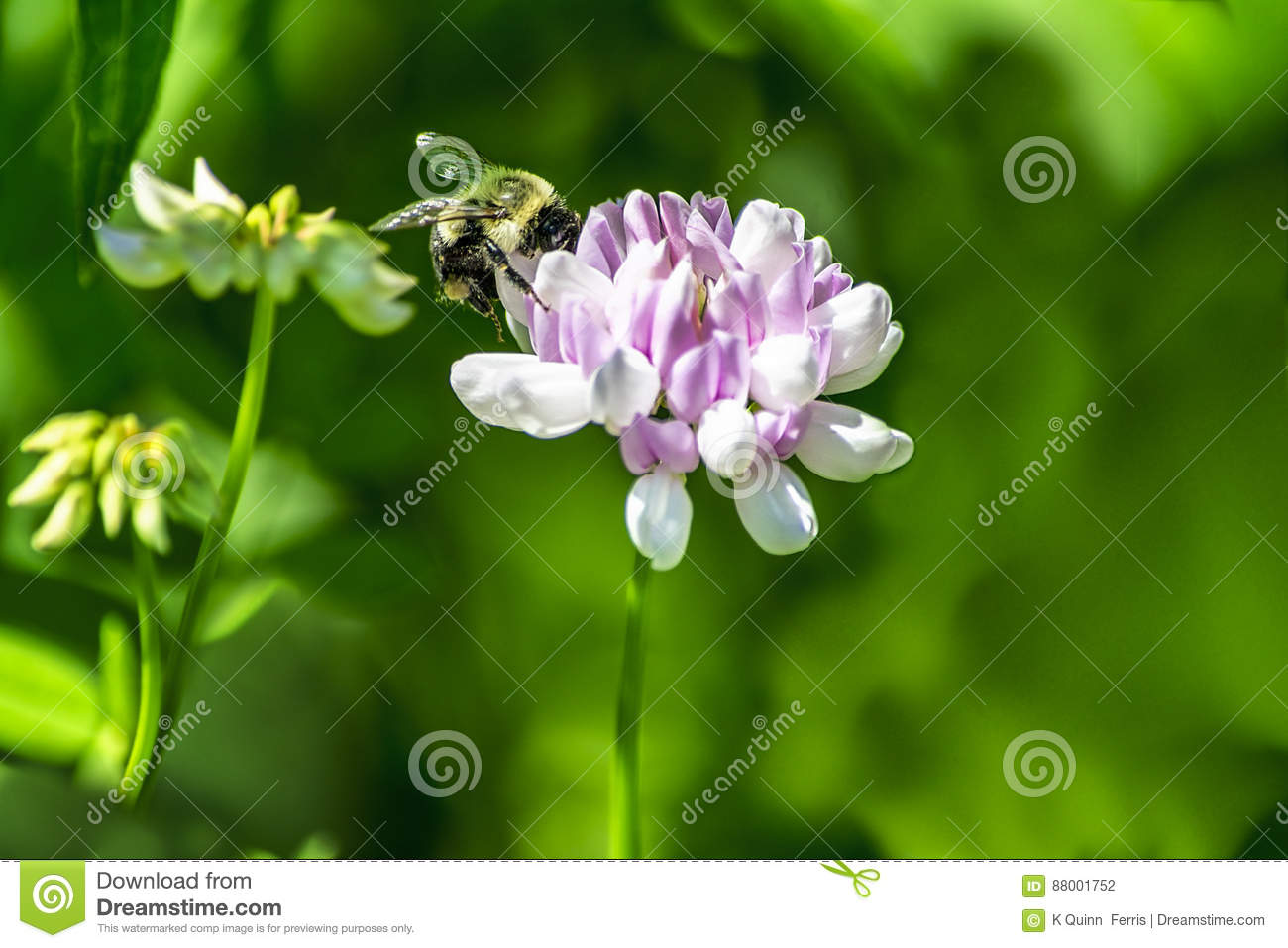 Bumble Bee On Purple Clover Stock Photo Image Of Blossom Nectar
