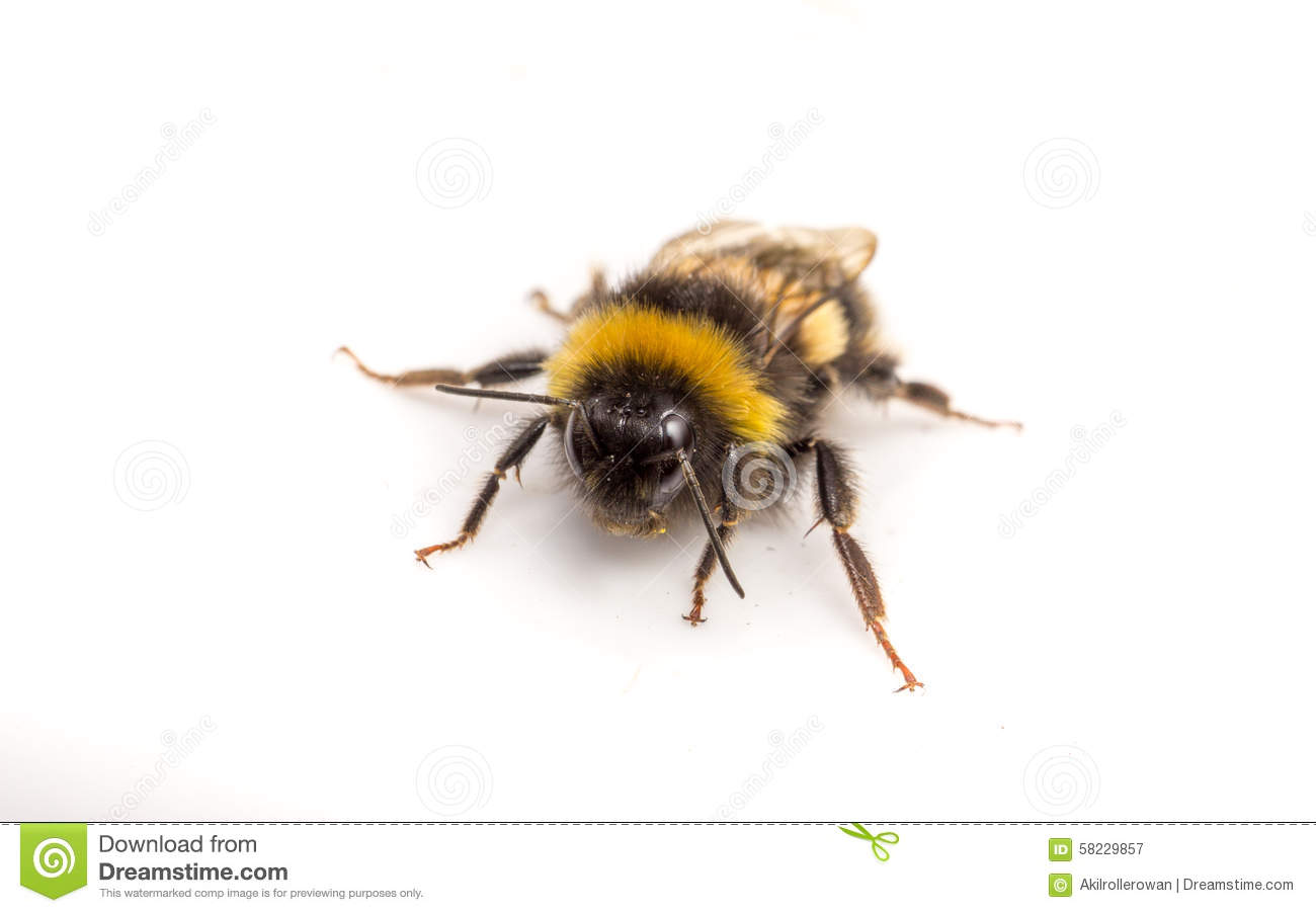 A Bumble Bee A White Background Stock Image Image of