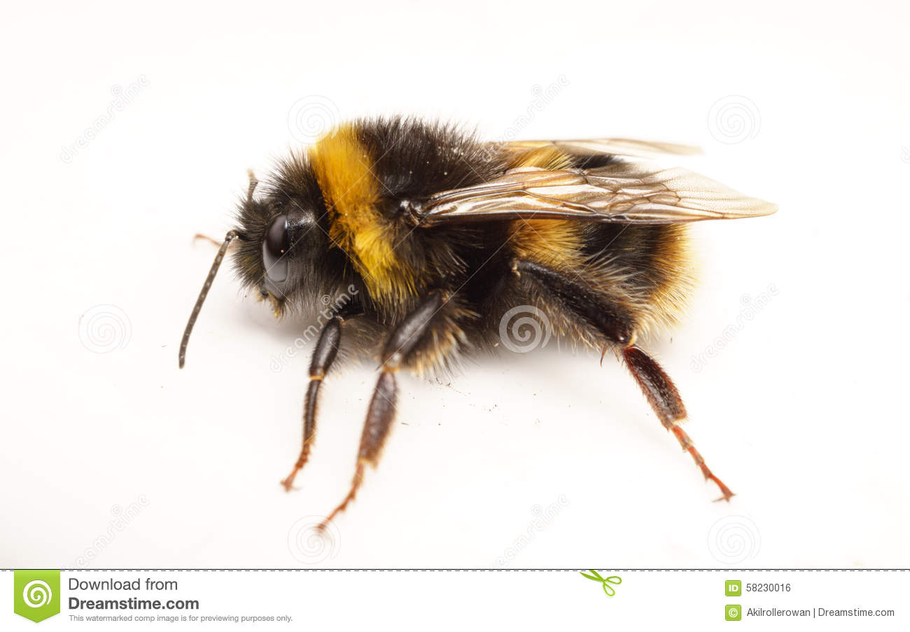 A Bumble Bee A White Background Stock Image of