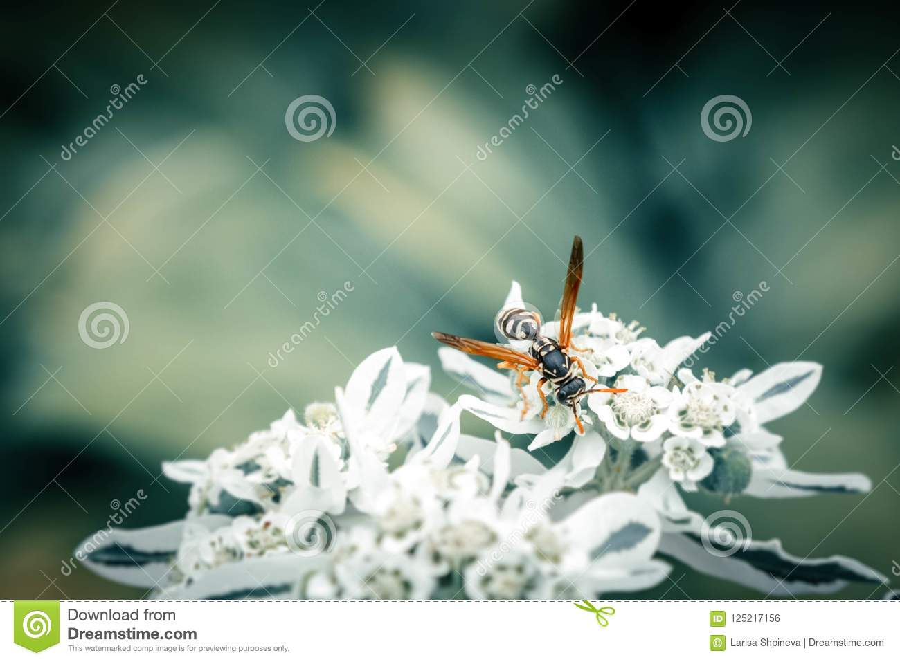 Honey bee collects pollen on white flower on blue blurred background