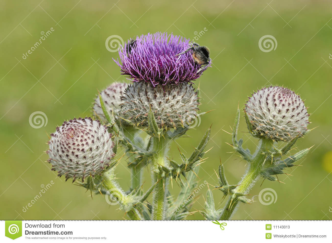 Bumble Bees on Woolly Thistle