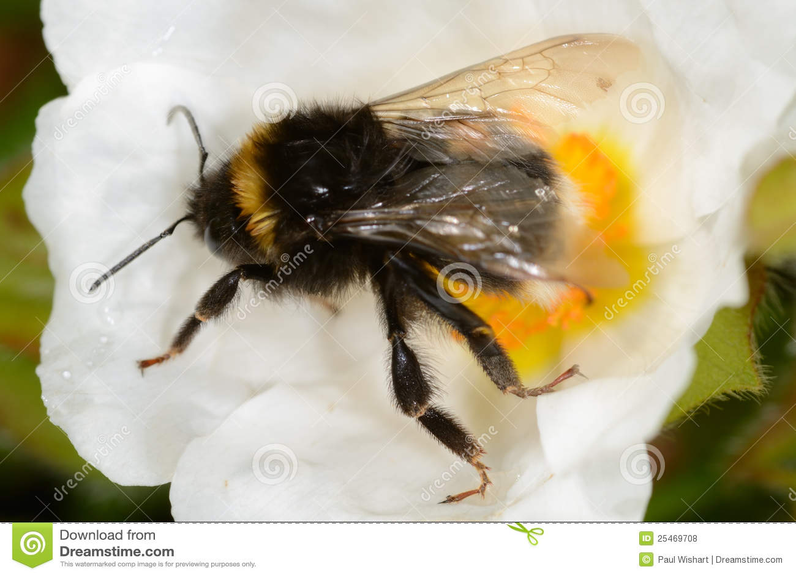 Bumble l ape sul fiore bianco