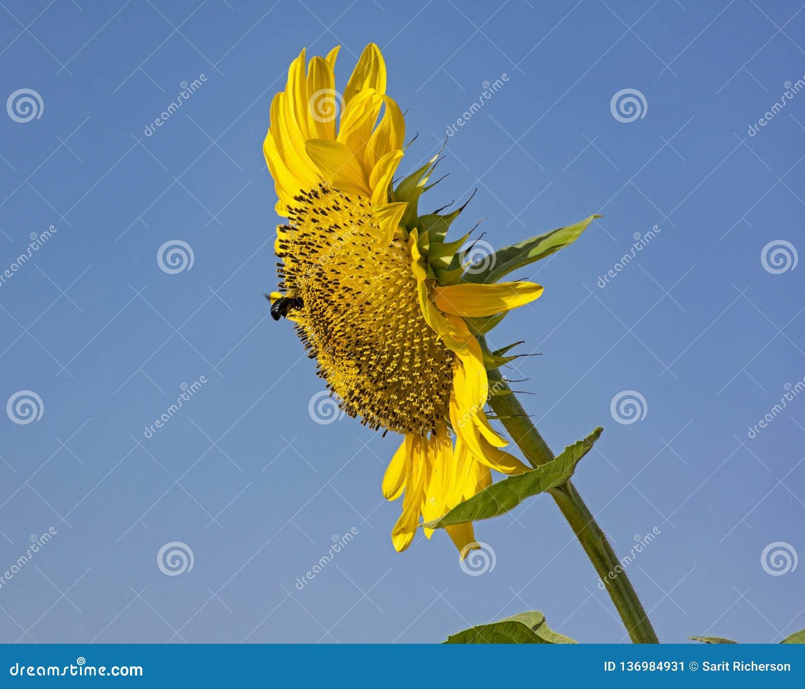 Bumblebee που επισκέπτεται έναν γιγαντιαίο ηλίανθο