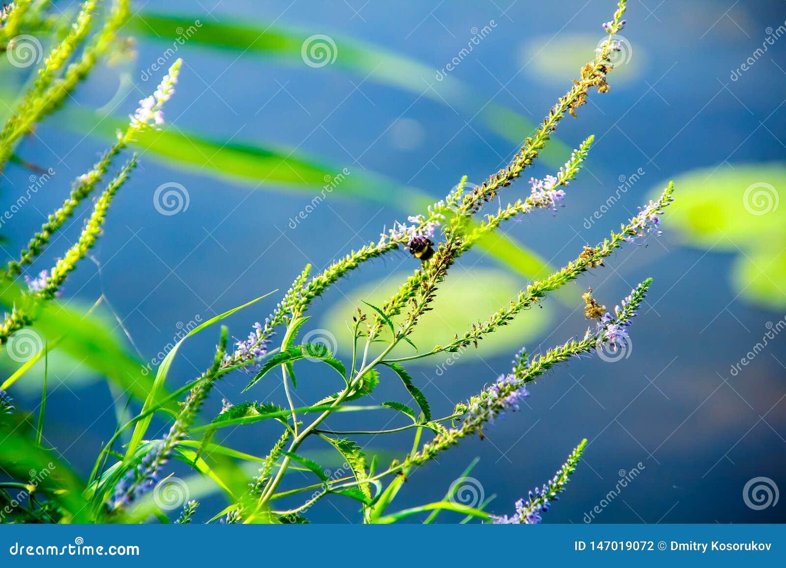 Bumblebee συνεδρίαση στη χλόη κοντά στο νερό