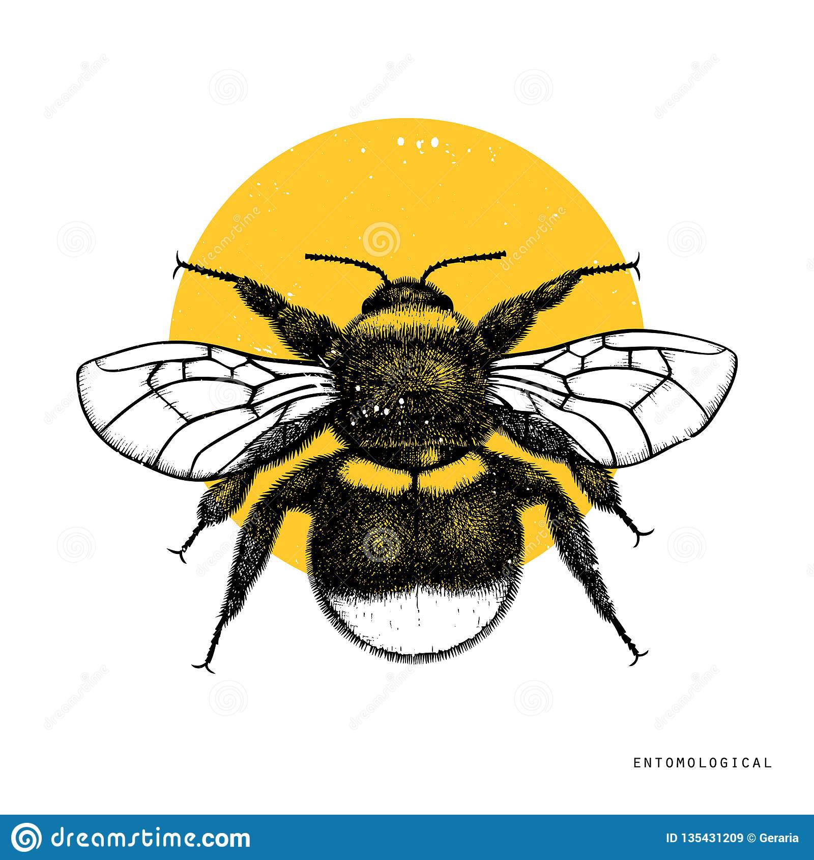 Vector drawing of Bumlebee. Hand drawn insect sketch isolated on white. Engraving style bumble bee illustrations.