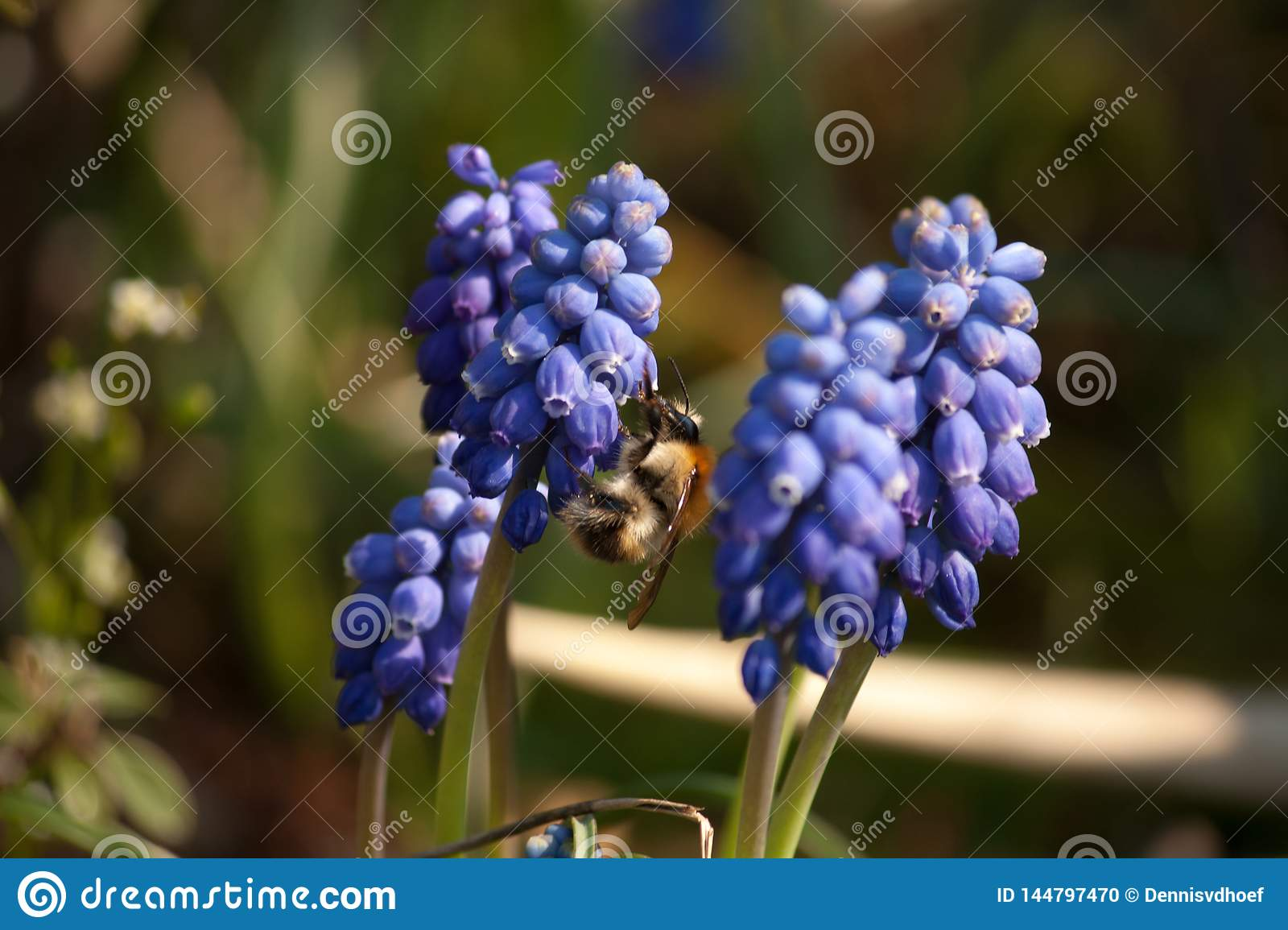 Bumblebee on a blue grape hyacinth standing in my garde.