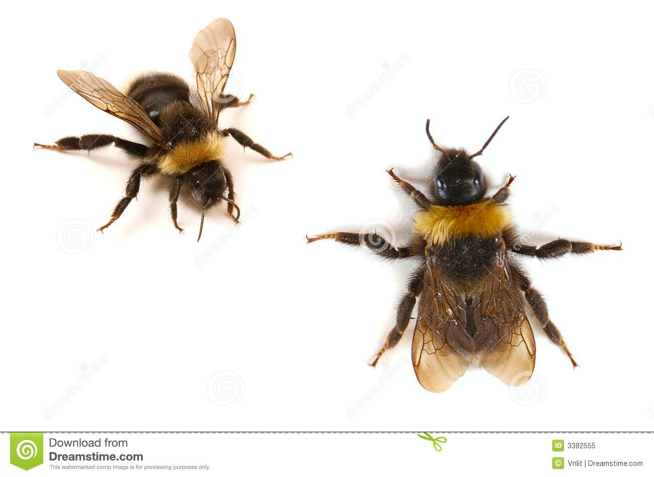 Bumblebee close-up stock image. Image of insects ...