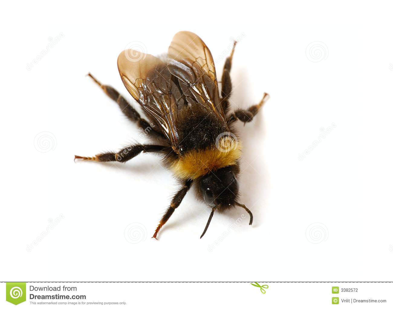 bumblebee close up stock photos images u0026 pictures 1 535 images