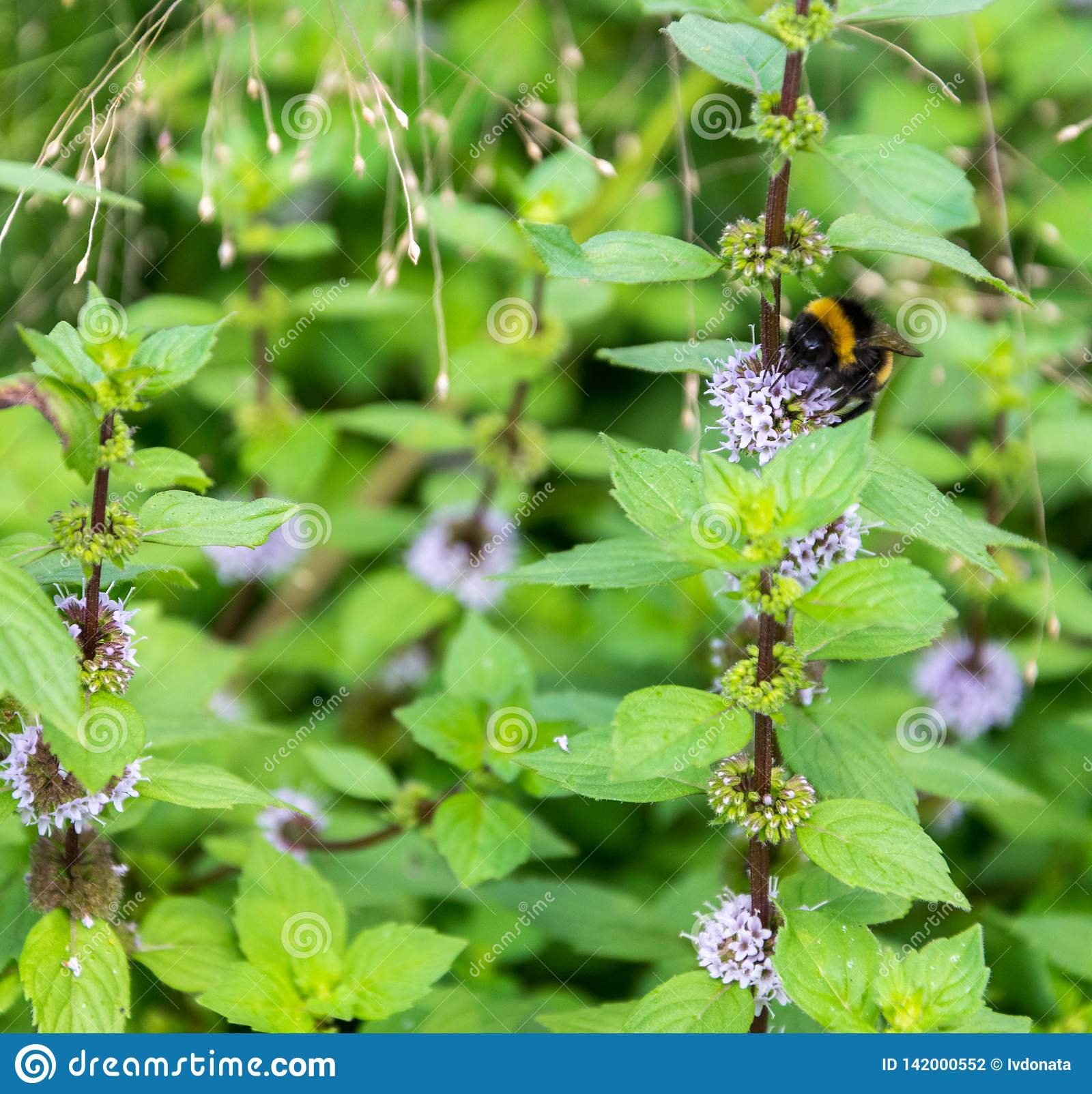A bumblebee collects a nectar from a blue peppermint flower