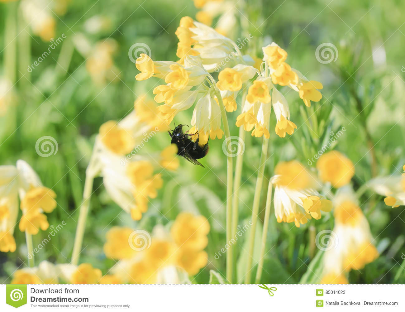 Bumblebee Collects Nectar From Yellow Flowers Of The Primrose In The