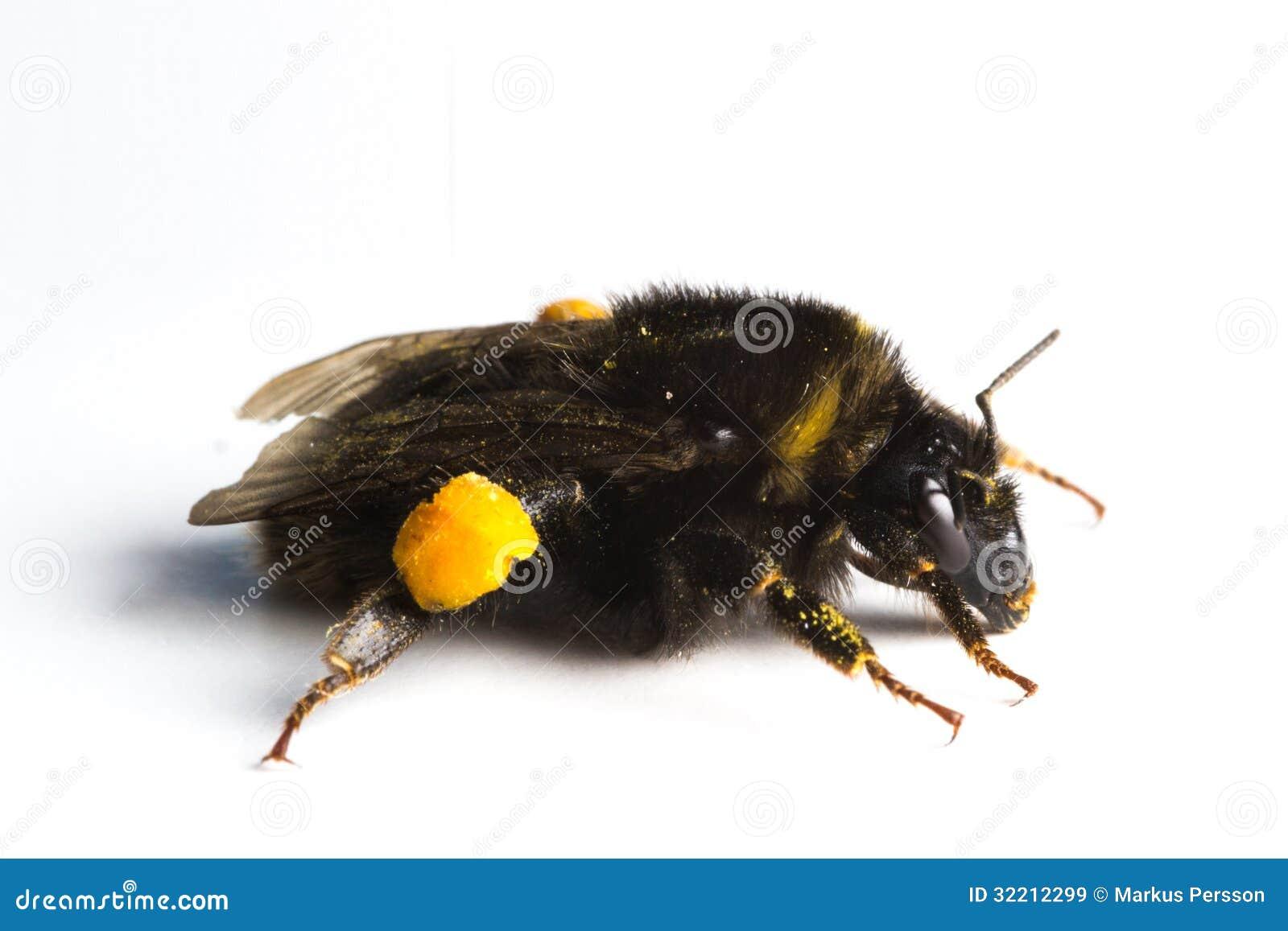 bumblebee bombus terrestris royalty free stock images image