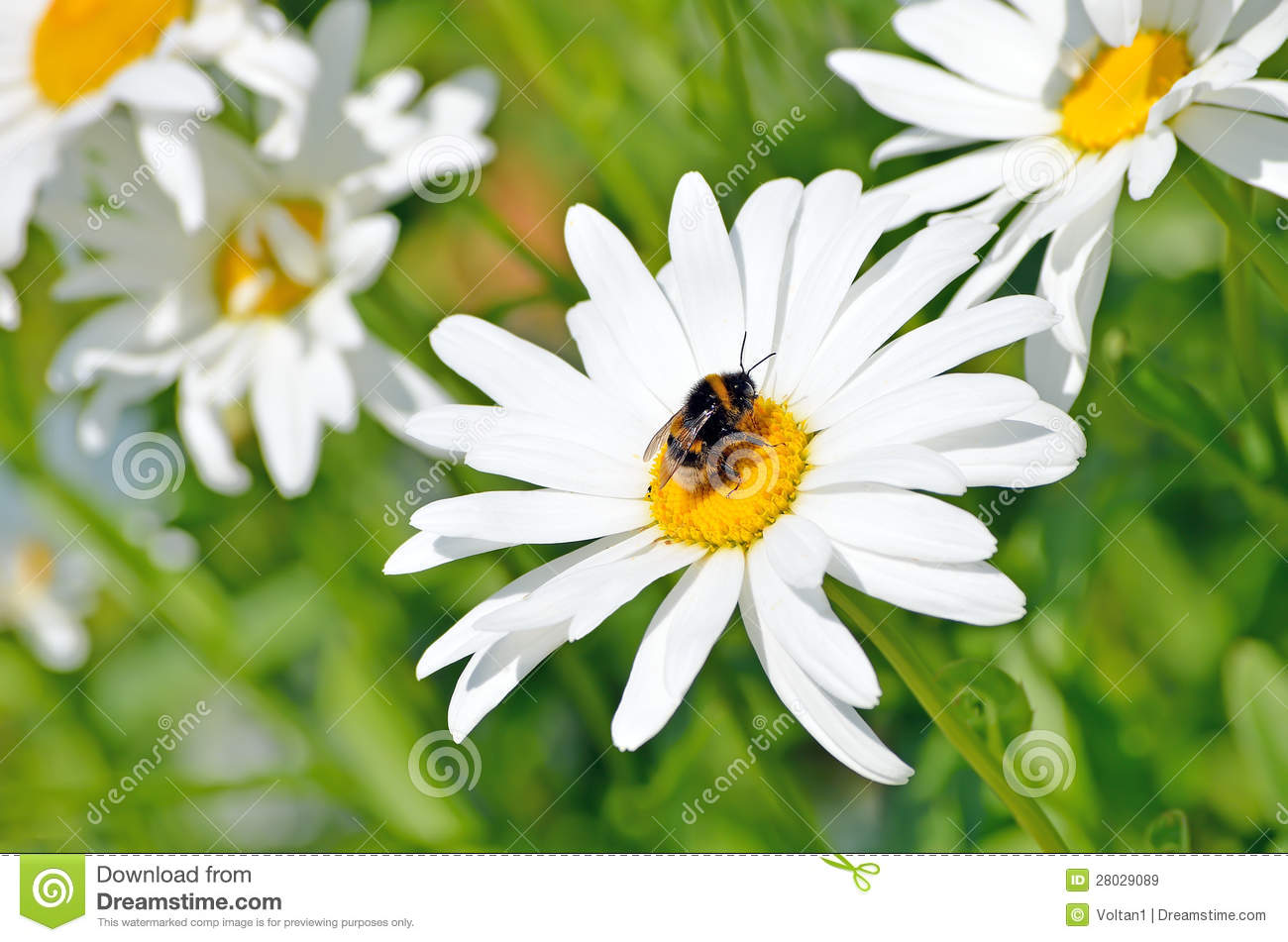 Bumblebee On A Daisy Flower Stock Image Image Of Field Beautiful