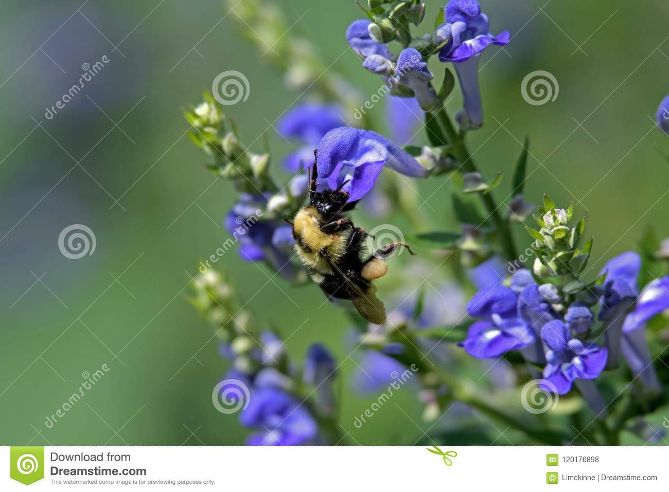 Bumblebee On Downy Skullcap Stock Photo - Image of downy, collecting
