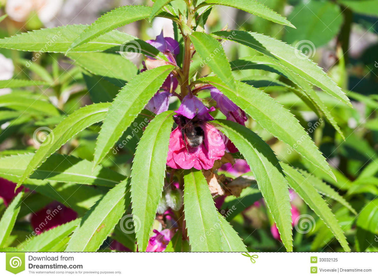 Bee feed on nectar and pollen royalty free stock image for I fiori della balsamina