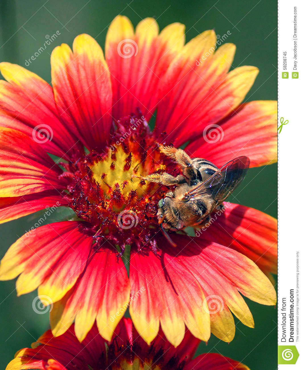 Bumblebee on gaillardia pulchella stock image image of yellow bumblebee on red flower with yellow tips gaillardia pulchella mightylinksfo