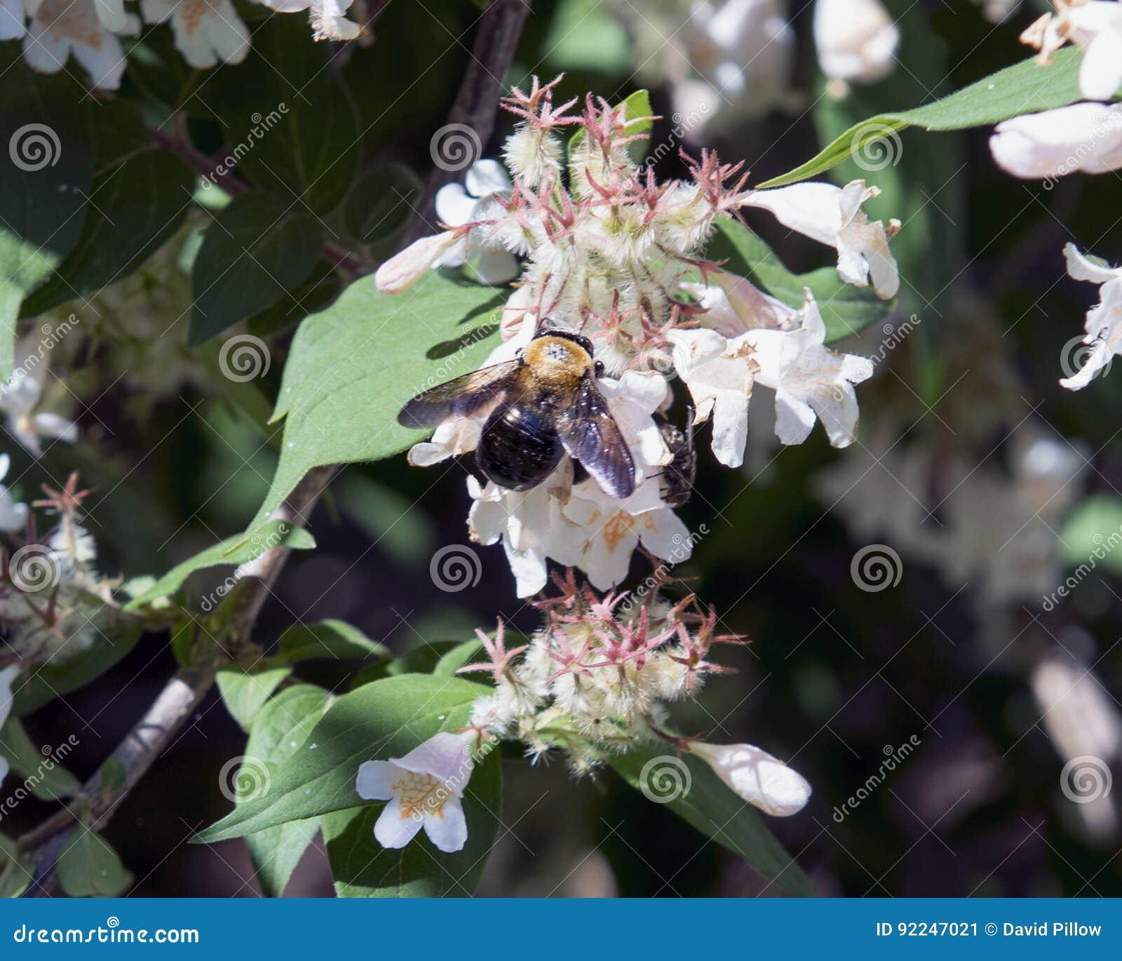 Bumblebee gathering nectar from honeysuckle