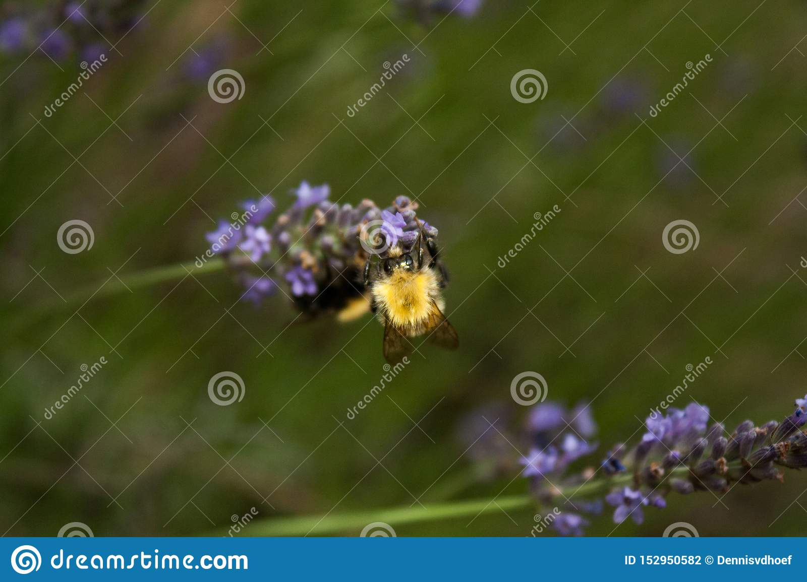 A bumblebee gathers nectar from a lavender flower.