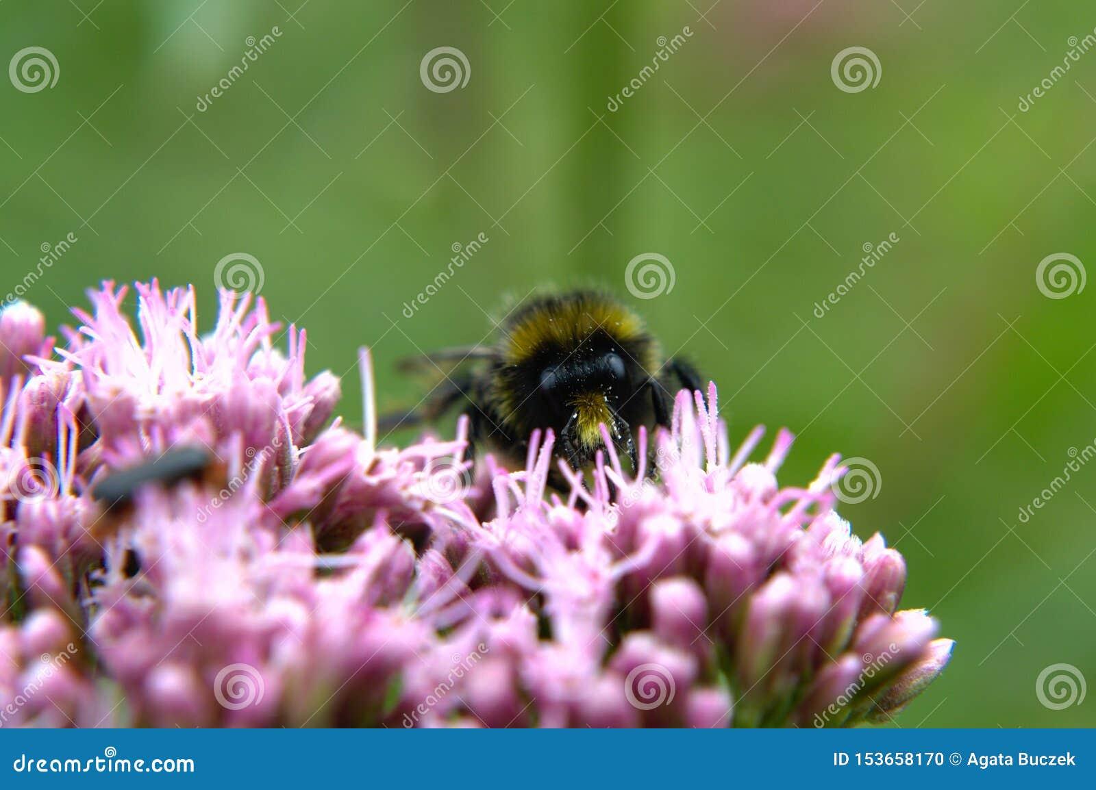 Bumblebee na kwiacie