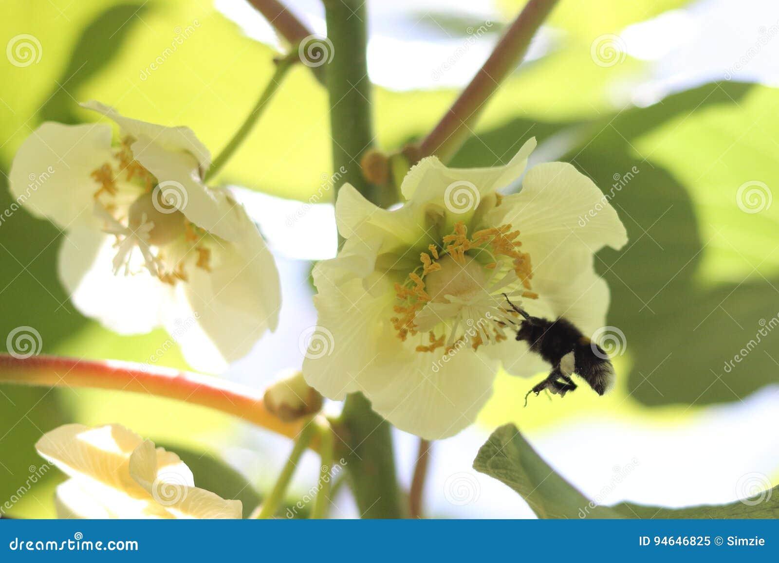 Bumblebee Pollinating In Kiwifruit Orchard Stock Image Image Of