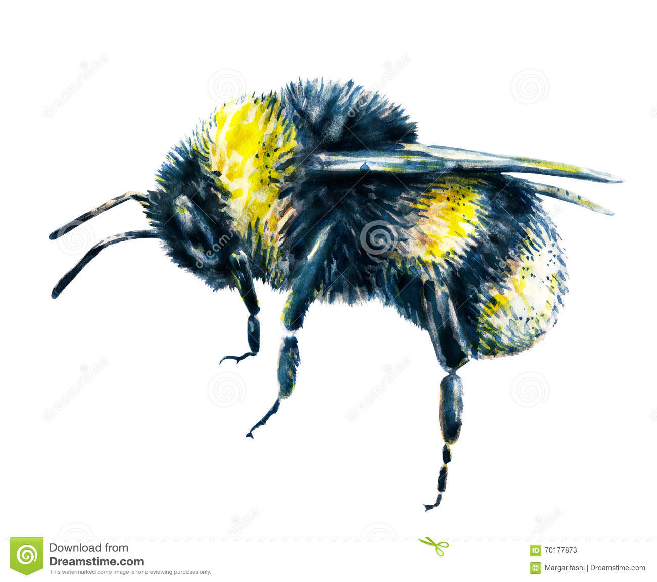 Bumblebee On A White Background. Watercolor Drawing ...